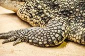 Yetişkin bir erkek caiman closeup — Stok fotoğraf