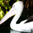 Australian pelican has a rest — Stock Photo