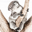Royalty-Free Stock Photo: Koala in its natural habitat