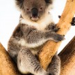 Koala in its natural habitat — Stock Photo
