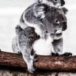 Koala in its natural habitat - Stock Photo