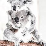 Koala in its natural habitat — Stock Photo #18877453