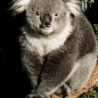 Koala in its natural habitat — Stock Photo #18878511