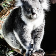Koala in its natural habitat — Stock Photo #18878555
