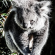 Koala in its natural habitat — Stock Photo #18878557