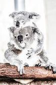 Koala in its natural habitat — Stock Photo