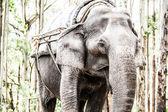 Asian elephant in India. — Stock Photo