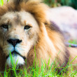 Lion the king — Stock Photo #18921973