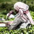 Woman picking tea leaves in a tea plantation, Munnar is best known as India's tea capital  — Stock Photo