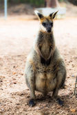 Closeup of a Red-necked Wallaby (Macropus rufogriseus) — Stock Photo