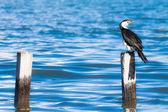Great Cormorant.Black Shag,(Phalacrocorax Carbo) — Stock Photo