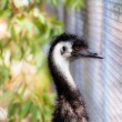 Emu bird portrait. — Stock Photo #18982321