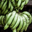 Banana tree with a bunch of bananas — Stock Photo