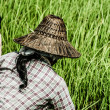 Rural woman working in rice plantation, Myanmar — Stock Photo #19034265
