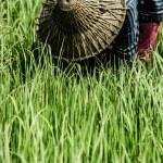 Rural woman working in rice plantation, Myanmar — Stock Photo #19034281