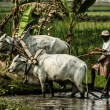 Burma. Farmer on his Rice Field — Stock Photo