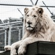 Beautiful male white lion lying — Stock Photo #19036759