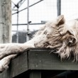 Beautiful male white lion lying — Stock Photo #19036771