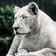 Beautiful male white lion lying — Stock Photo #19036779