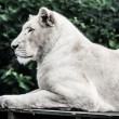 Beautiful male white lion lying — Stock fotografie