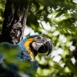 Stock Photo: A blue and yellow macaw closeup