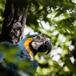 A blue and yellow macaw closeup — Stock Photo