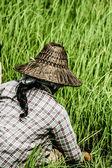 сельская женщина, работающая в рисовые плантации, мьянма — Стоковое фото