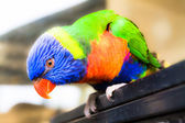 Rainbow Lorikeet sitting on the dry tree — Stock Photo