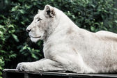 Beautiful male white lion lying — Stock Photo