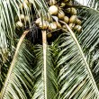 Coconut trees in the Caribbean — Stock Photo