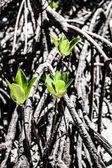 Mangroves, Queensland, Australia — Stock Photo
