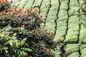 Tea plantation in Munnar, India — Stock Photo