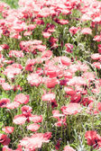Corn poppies (Papaver rhoeas) in a field. — Stock Photo