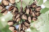 медный бук в осень - fagus sylvatica — Стоковое фото