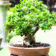Beautiful bonsai in the garden — Stockfoto