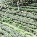 Green rice terraces in Bali, Indonesia — Stock Photo #19247949