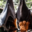 Fruit bats hanging out together — Stock Photo #19248315
