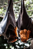 Fruit bats hanging out together — Stock Photo