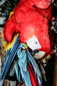 A blue - red and yellow macaw closeup — 图库照片