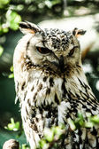 Eagle Owl in natural background — Foto de Stock