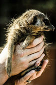 A portrait of a cute african suricate — Stock Photo