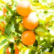 Branch orange tree fruits green leaves in Valencia Spain — Foto Stock