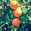 Branch orange tree fruits green leaves in Valencia Spain — Stok fotoğraf