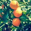 Branch orange tree fruits green leaves in Valencia Spain — Стоковая фотография