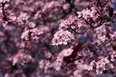 Růžové třešňové květy kvetoucí v jarní. — Stock fotografie