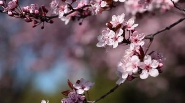 Flowers of the cherry blossoms on a spring day from japan garden — Stock Video