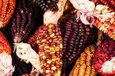 Un cierre o alegre y colorido secado maíz indio — Foto de Stock