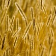 Ears of wheat perfect background. — Stock Photo #26877899