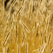 Stock Photo: Ears of wheat perfect background.