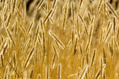 Ears of wheat perfect background. — Stock Photo